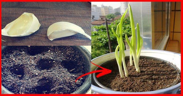 Saber como plantar alho em apartamento é a grande chave para cultivar este item essencial na cozinha dos brasileiros e é claro, sem qualquer adição de produtos