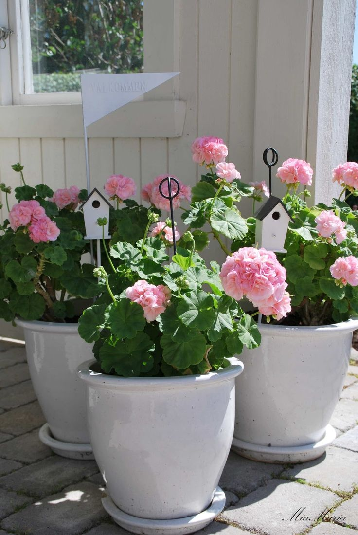 Pretty Pink Geraniums in white pots