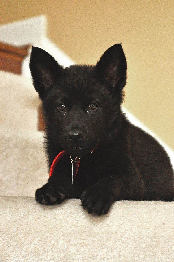 My black german shepherd when she was just a tiny pup.