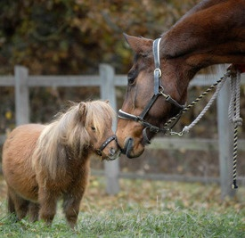 8 best images about World's Smallest Horse on Pinterest ...Full Grown Mini Horse
