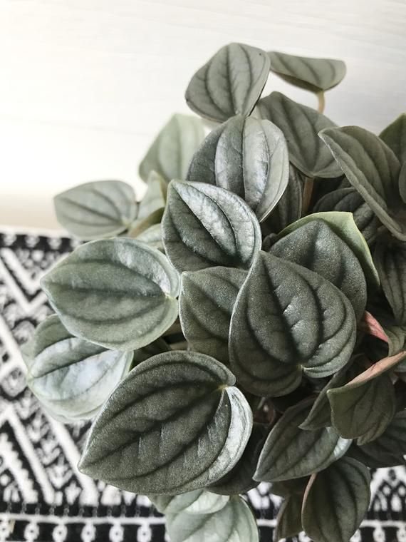 Rare Peperomia Napoli Nights Silver Houseplant Easy Care Rare Find In 2020 Peperomia Plant Indoor Shade Plants Peperomia