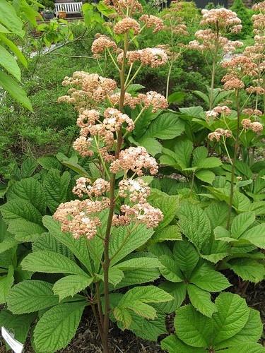 Rodgersia pinnata schaduwplant die van vochtige grond houdt tuinplantenstekplek.nl