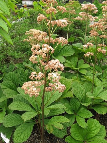 Rodgersia pinnata schaduwplant die van vochtige grond houdt