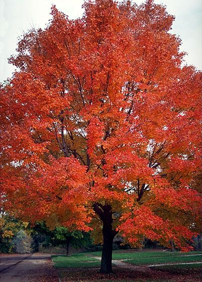 Red Sunset Maple Tree. A variety of Red Maple that has orange and red in the fall, with redish leaves on new growth in the spring.