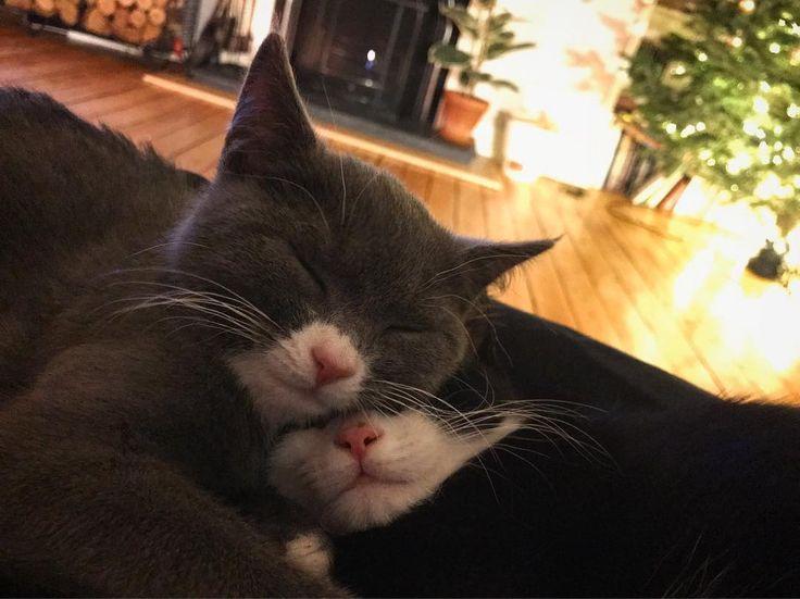 The calm before the storm #pinknoses #kittens #kittensofinstagram #kitties #kittensofig #sleepytime #sleepykittens