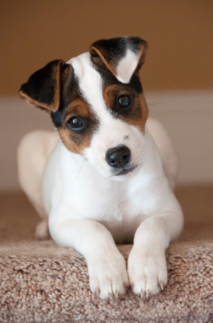 miniature jack russell terrier puppies for sale jack russell terrier mini rd76 187 regardsdefemmes 8961