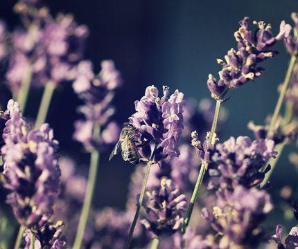 Vejledning om udplantning og pasning af lavendel