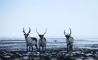 Russian Arctic scientists saw Novaya Zemlya deer for the first time - Ecology: Arctic-Info