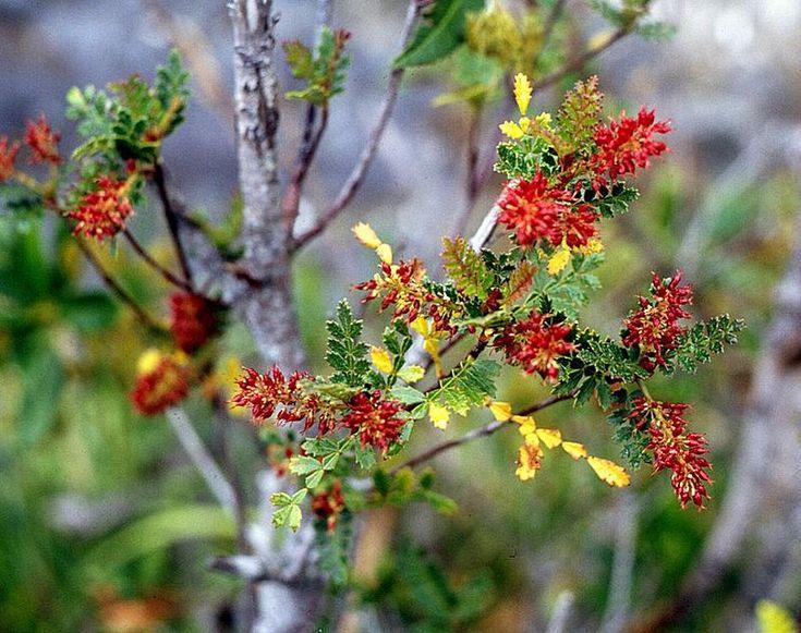 Weinmannia trichosperma - Puerto Blest flora del lugar, PN Nahuel Huapi, AR