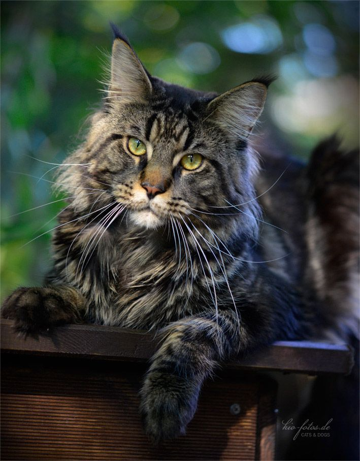 17 Best images about maine coon, norwegian forest cat ...