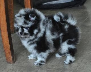 Elevage des Oursons de petit-palais - eleveur de chiens Spitz allemand
