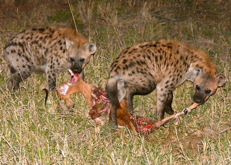 Hyenas eating impala, stolen from a leopard in Manyeleti, South Africa. #Hyena #Hyæne #Impala #Leopard #Manyeleti #KhokaMoyaCamp #AlbatrosTravel #AlbatrosRejser #HenryRasmussen