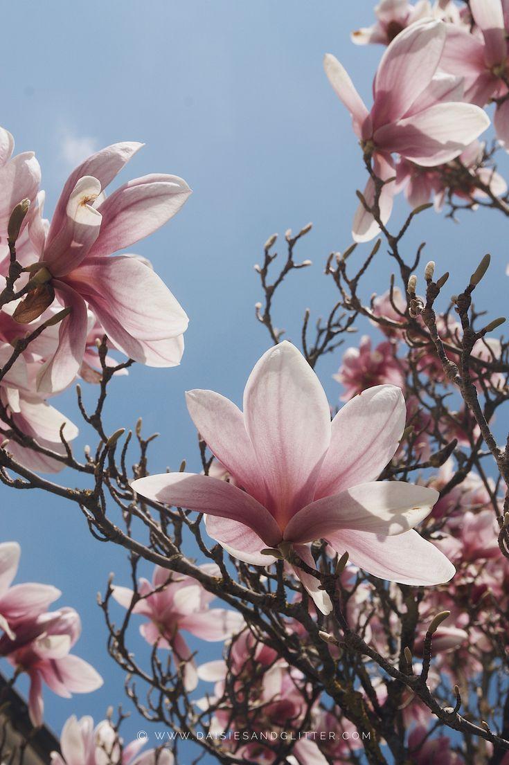 Wallpaper Spring Spring Wallpaper Spring Wallpaper Autumn Trees Magnolia Trees