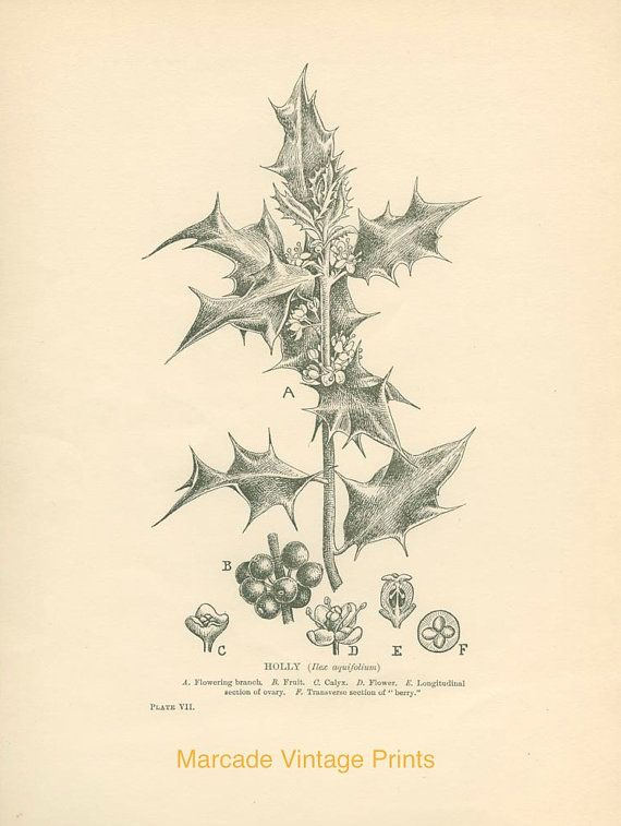 Holly Berry Fruit Calyx Flower 1909 by MarcadeVintagePrints