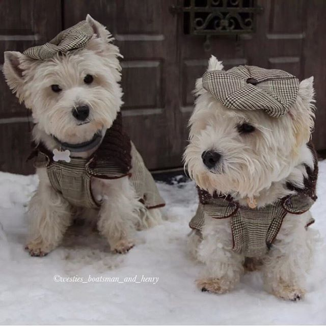 West Highland White terriers                                                                                                                                                                                 More