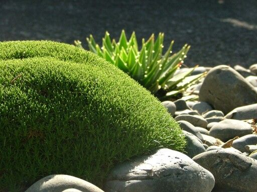 Schleranthus biflorus.....one of my favorite plants. Looks like moss but its more heat tolerant.