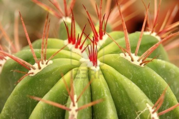 Cactus spines Red