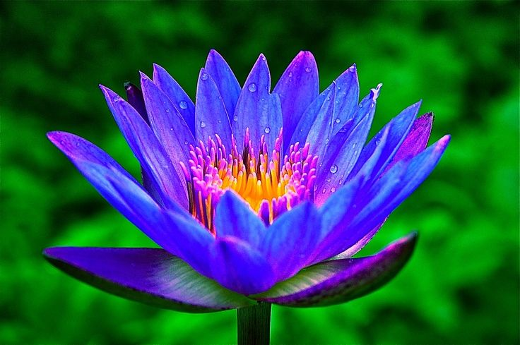 Image result for egyptian blue lotus