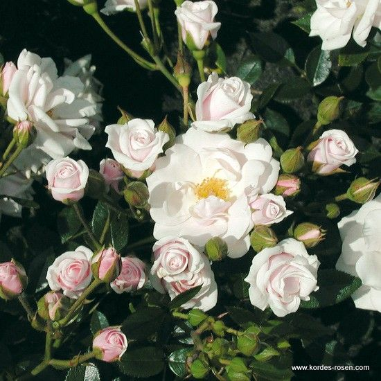 8 best rosiers images on pinterest | flowers, globe and planters