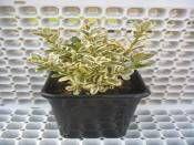 Buxus sempervirens Alacalı Gold  Şimşir http://www.fidanistanbul.com/urun/2812_buxus-sempervirens-alacali-gold--simsir.html Fidan Satışı, Fide Satışı, internetten Fidan Siparişi, Bodur Aşılı Sertifikalı Meyve Fidanı Süs Bitkileri,Ağaç,Bitki,Çiçek,Çalı,Fide