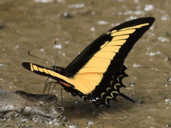 A borboleta brasileira Parides burchellanus, nativa do Cerrado, tem uma população inferior a 100 indivíduos: http://abr.io/3YFj