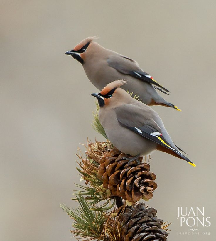 Bohemian Waxwings, Yellowstone National Park WY.  By Juan Pons.