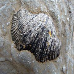 fossiel of a shell (1) thumbnail found sert in the limestone, Atlantic Coast, Ireland. ©Annie Wright Photography