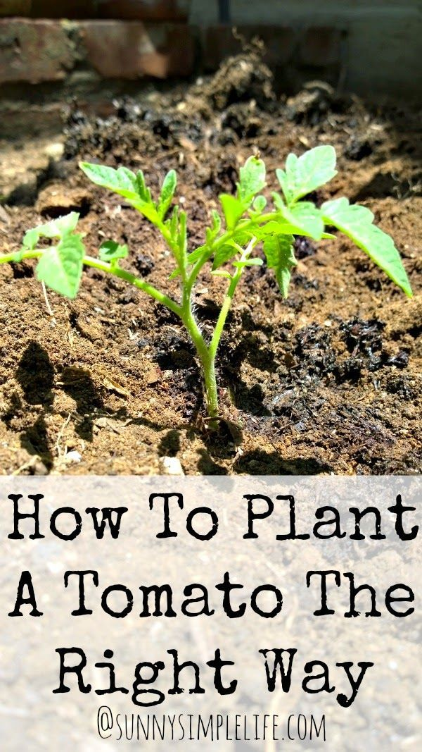 How To Plant Tomatoes The Right Way, A Guide to Growing Tomatoes, How to Grow, When to Plant, Vegetable Tomatoes, Tomatoes, Vegetable Garden, Gardening, Tips, Homesteading