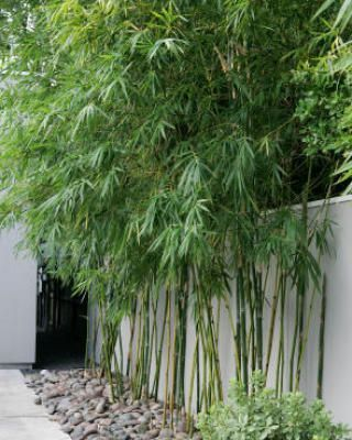 Alphonse Karr Bamboo---use bamboo as a privacy screen in the backyard.