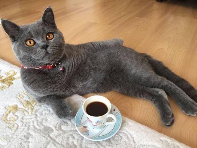 Hello human! How about tea or coffee?  Follow us on: - https://goo.gl/NKk858 - Twitter: https://goo.gl/PlLXiR - Pinterest:https://goo.gl/9NIzFX - Facebook:https://goo.gl/Y7XnNU  #instacat #russianminiatures #pets #petsagram #cat #cats #catsofinsta #catsofinstagram #catstagram #cutecat #catoftheday #lovecats #kitty #bengal #cats_of_instagram #dailycat #bestmeow #kitten #kittensofinstagram #meow #catsareawesome #loveofmylife #lovekittens #kittenlove #lazycat #котик #kittycat