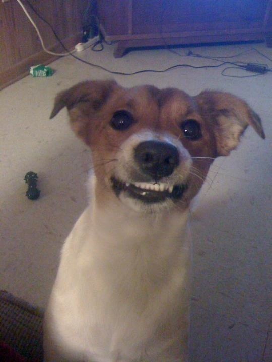 Smiling JRT!  My sweet Arrow does this all the time.