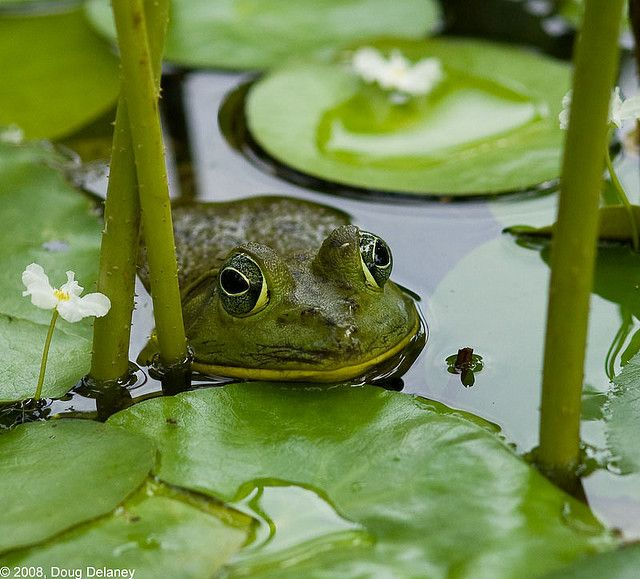 248 Best Images About Bull Frogs And African Bull Frogs On Pinterest Corcovado National Park