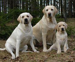 <3Labrador Retriever family. beautiful, playful dogs