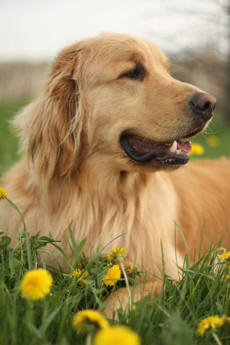 1000 images about my love of golden retrievers on pinterest the golden best dogs and. Black Bedroom Furniture Sets. Home Design Ideas