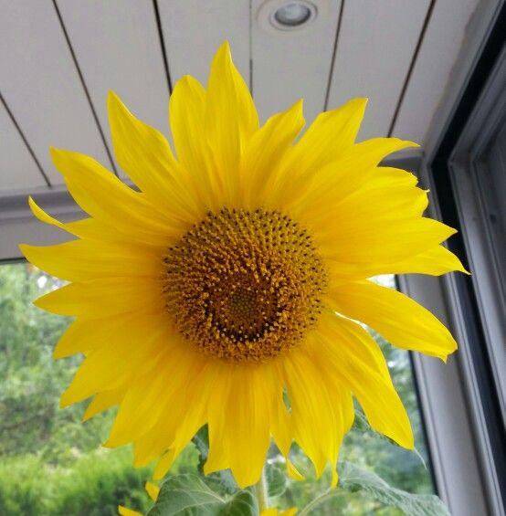 Solstikk blomst