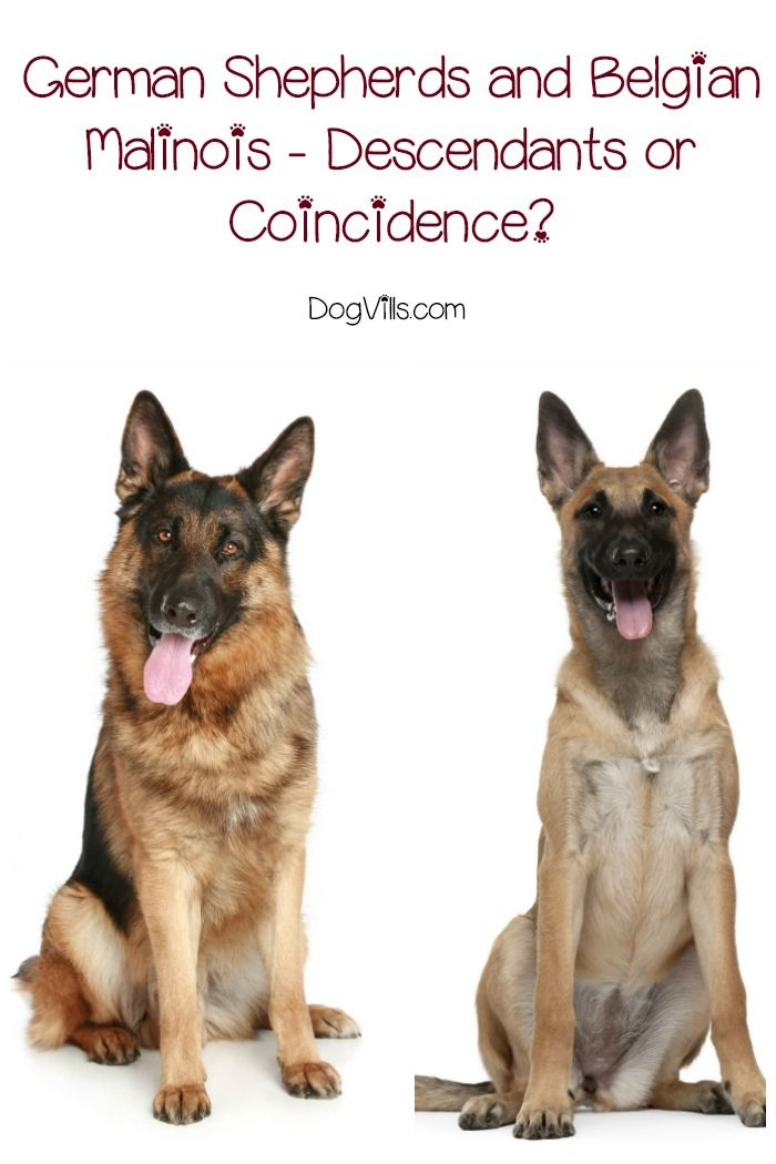 German Shepherds And Belgian Malinois Descendants Or Coincidence Malinois Working Dogs Breeds Belgian Malinois