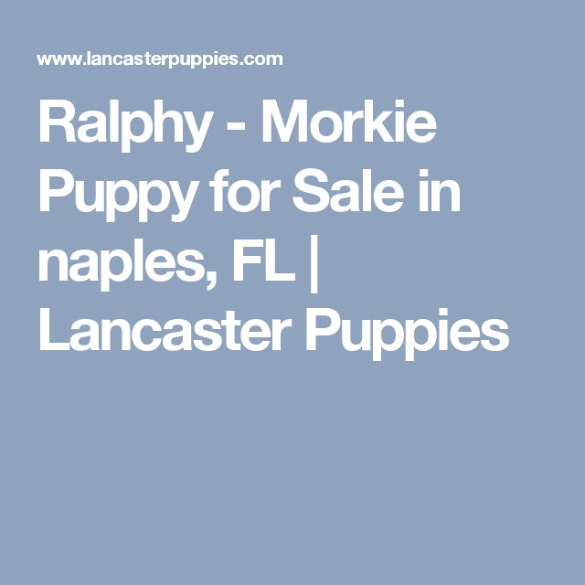 Ralphy - Morkie Puppy for Sale in naples, FL | Lancaster Puppies