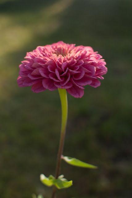 Pompás rézvirág / Zinnia elegans a egyik kedvenc kerti virágunk
