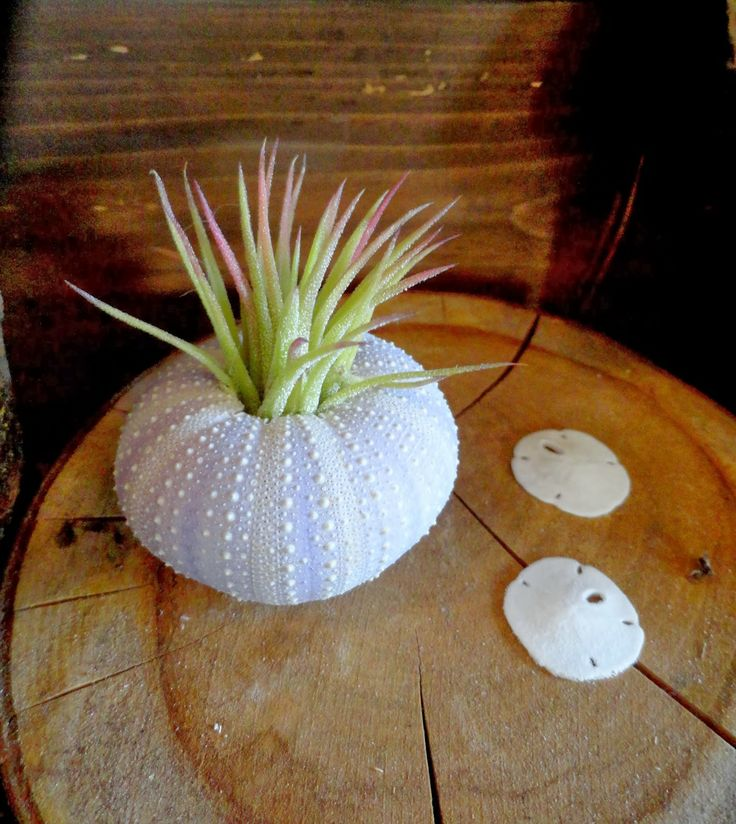 Succulents and sea urchins, via @Loree Bohl: Design Inspiration, Secret Plant, Plant Wishlist To, Loree Bohl, Sea Urchins