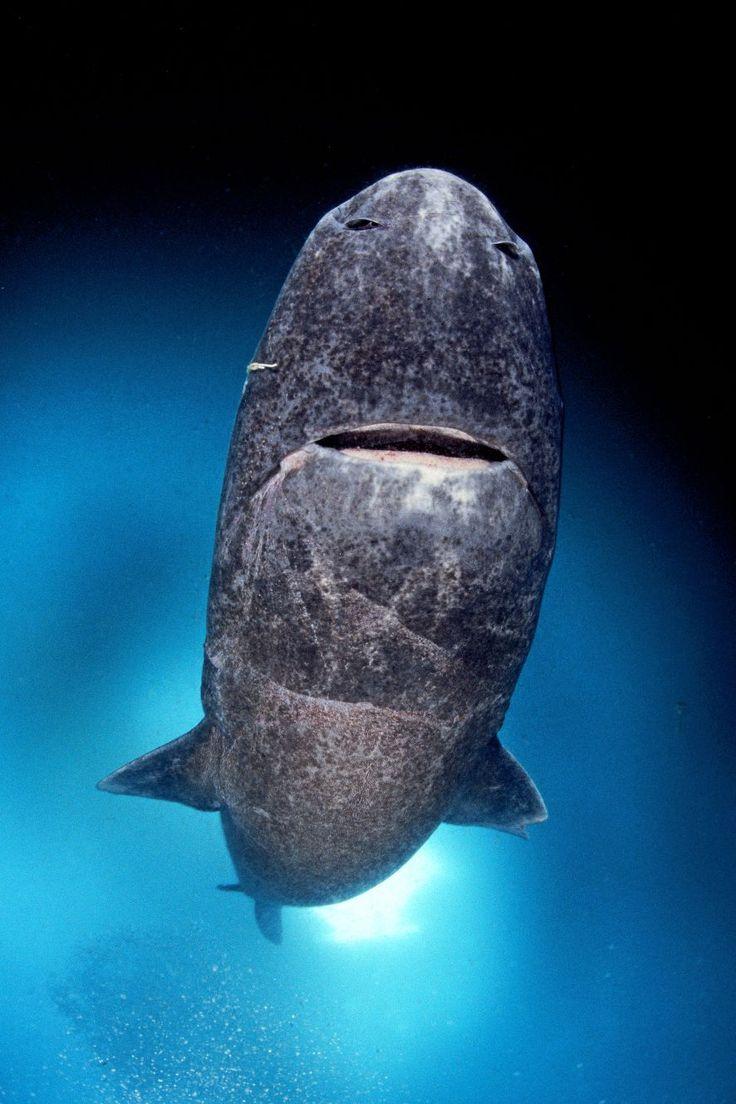 Shark on BBC1: mobula ray, Port Jackson, epaulette, ragged Tooth, swellshark and greenland sharks