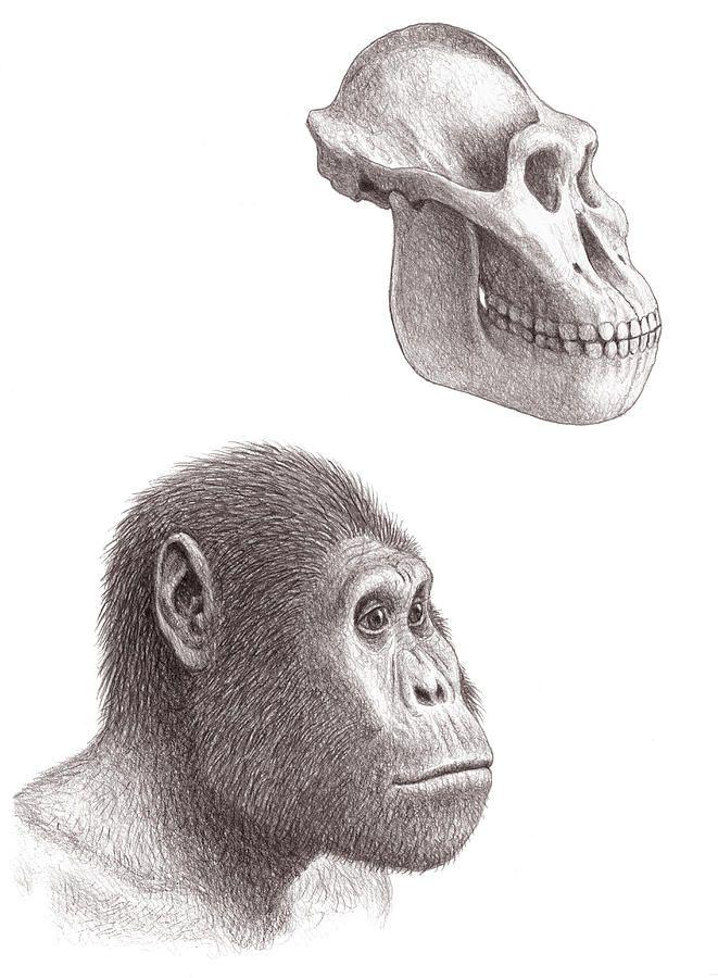 Para los investigadores, entre las particularidades más interesantes de estos fósiles de homínido se encuentran la unión de caracteres simiescos, como son los brazos cortos, con otros más cercanos a los de los humanos, como son los miembros inferiores largos; además, los rasgos de sus dentaduras se acercan más a los del hombre que a los del mono; y, por último, aquellos lejanos homínidos parecen ser también los primeros seres vivos que utilizaron instrumentos de piedra para romper los…