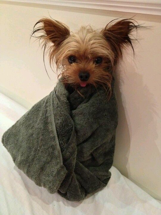 how often should i bathe my chihuahua 1000 images about yorkies on pinterest puppys 9331