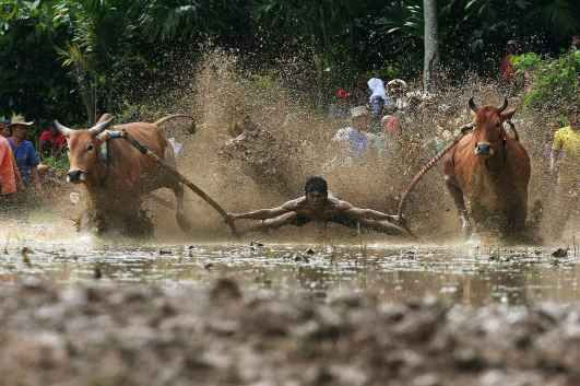 The Sumatran sport of Pacu Jawi or 'Mud Cow Racing' is held at the end of each rice harvesting season by the Minangkabau people in West Sumatra, Indonesia.
