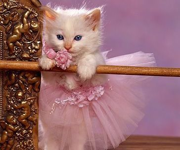 PetsLady's Pick: Cute Ballet Kitten Of The Day ... see more at PetsLady.com ... The FUN site for Animal Lovers