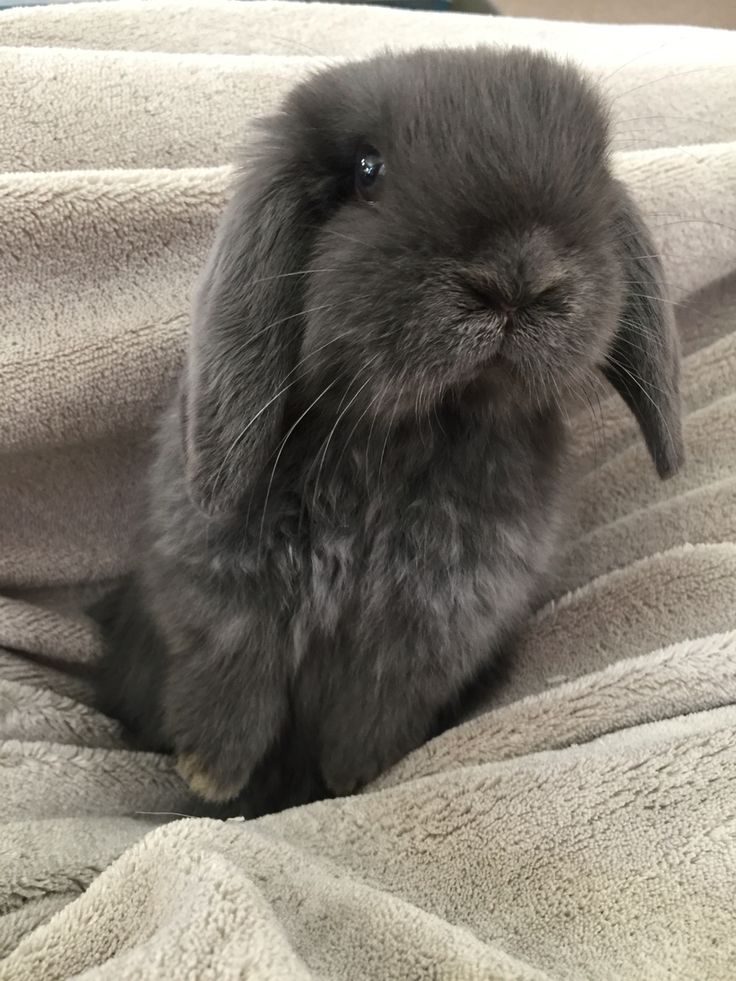 Blue Holland Lop bunny