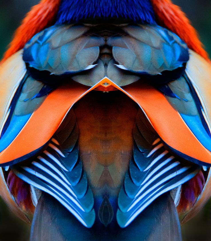 Mandarin Duck male plumage