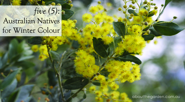 5 five Australian Natives Plants Flowers for Winter Colour by Temperate Zone | About The Garden Magazine