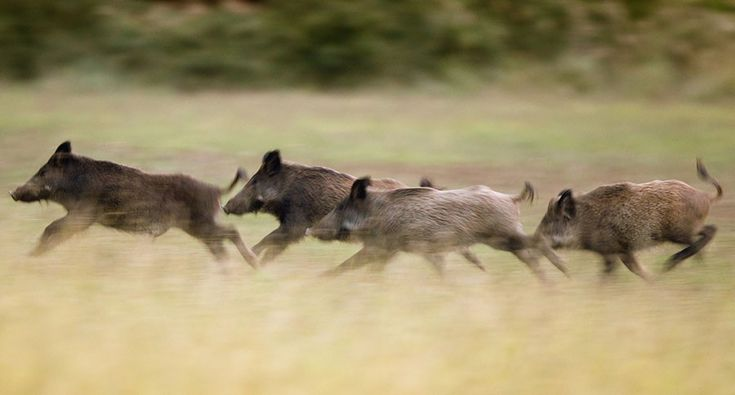14 Best Wild Boar Images On Pinterest Hunting Stuff Wild Hogs And