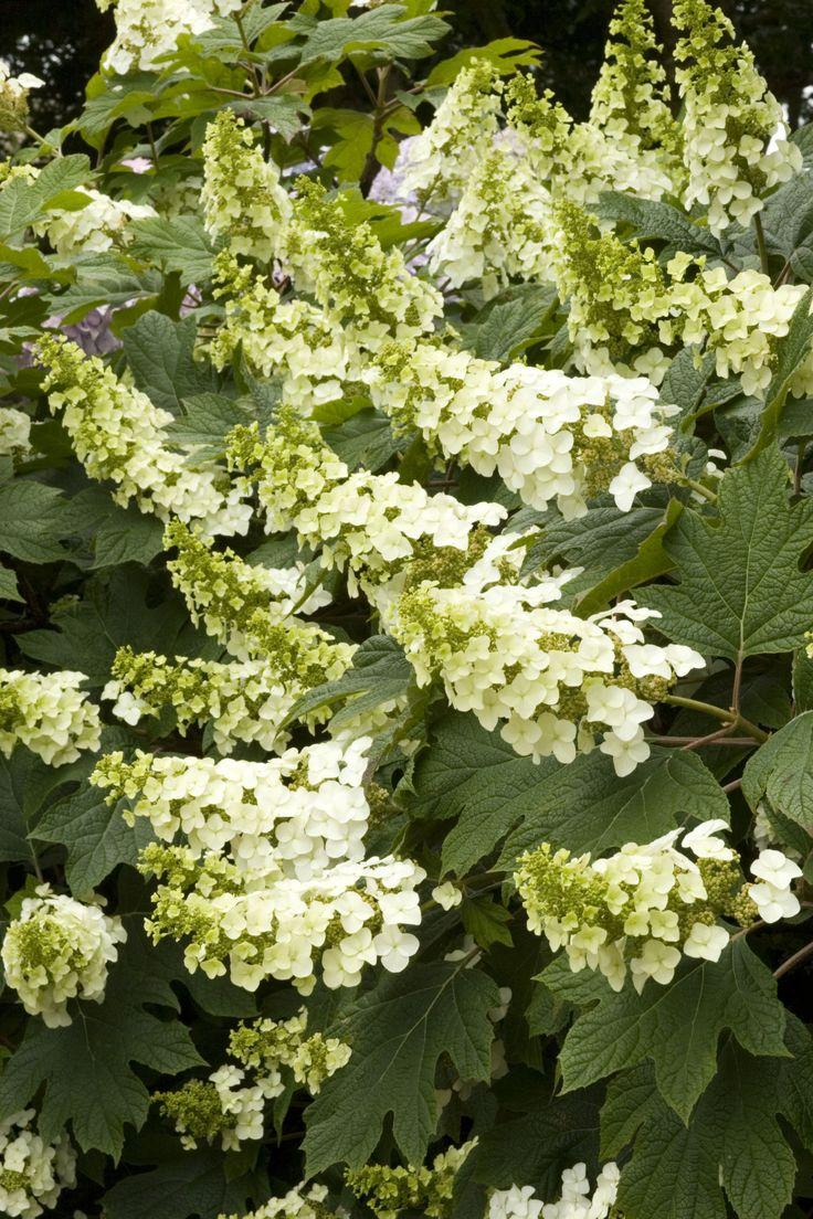 38 best pacific grove plants images on pinterest garden for Hydrangea quercifolia