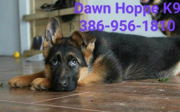 German Shepherd Puppies For Sale Now Contact Dawn Hoppe K9 Today